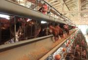 日本で育種改良された病気に強い国産鶏もみじ